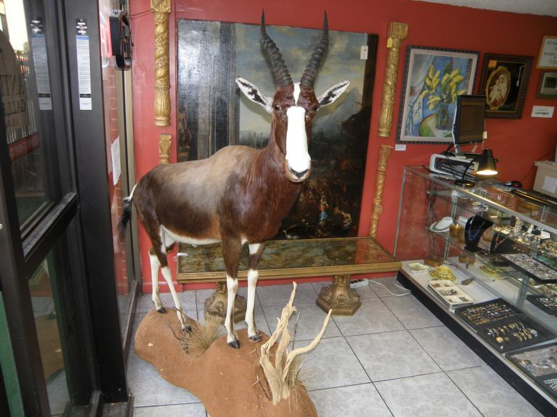 Blesbuck, South Africa  60 x 60 x  20 inches